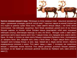 Краткое описание внешнего вида. Обитающие на Алтае северные олени - невысокие