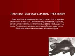 Росомаха - Gulo gulo Linnaeus, 1758 Jeeiten Длина тела 76-86 см, длина хвоста