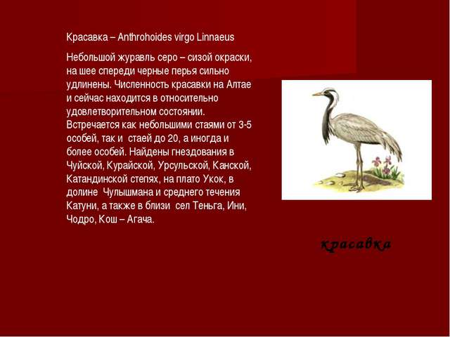 красавка Красавка – Anthrohoides virgo Linnaeus Небольшой журавль серо – си...