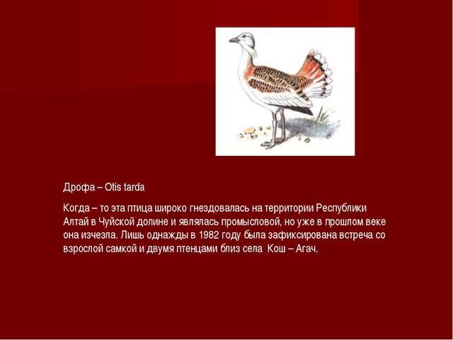 Дрофа – Otis tarda Когда – то эта птица широко гнездовалась на территории Рес...