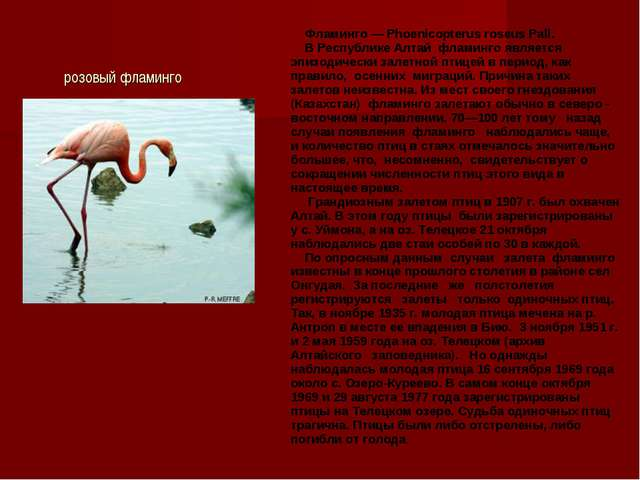 розовый фламинго Фламинго — Phoenicopterus roseus Pall. В Республике Алтай ф...