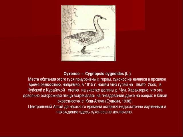 Сухонос — Cygnopsis cygnoides (L.) Места обитания этого гуся приурочены к гор...