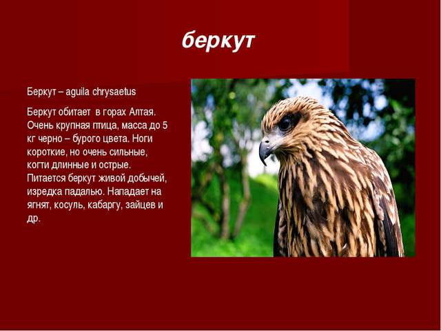 Беркут – aguila chrysaetus Беркут обитает в горах Алтая. Очень крупная птица,...