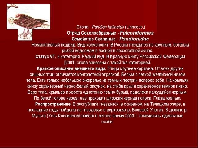 Скопа - Pandion haliaetus (Linnaeus,) Отряд Соколообразные - Falconiformes С...