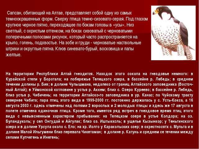 Сапсан, обитающий на Алтае, представляет собой одну из самых темноокрашенных...
