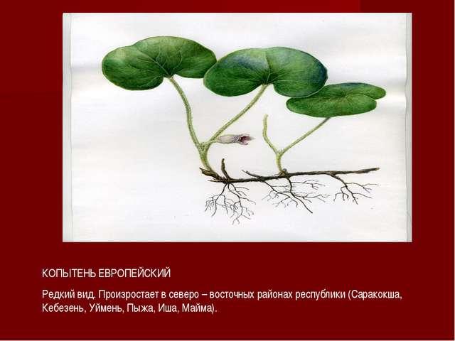 КОПЫТЕНЬ ЕВРОПЕЙСКИЙ Редкий вид. Произростает в северо – восточных районах ре...
