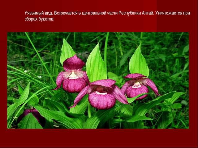 Уязвимый вид. Встречается в центральной части Республики Алтай. Уничтожается...