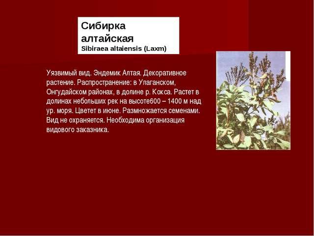 Сибирка алтайская Sibiraea altaiensis (Laxm) Уязвимый вид. Эндемик Алтая. Дек...
