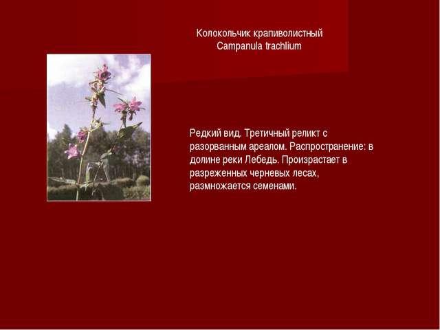 Колокольчик крапиволистный Campanula trachlium Редкий вид. Третичный реликт с...