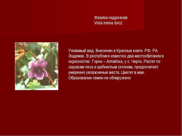Фиалка надрезная Viola ineisa turcz Уязвимый вид. Внесенен в Красные книги РФ...