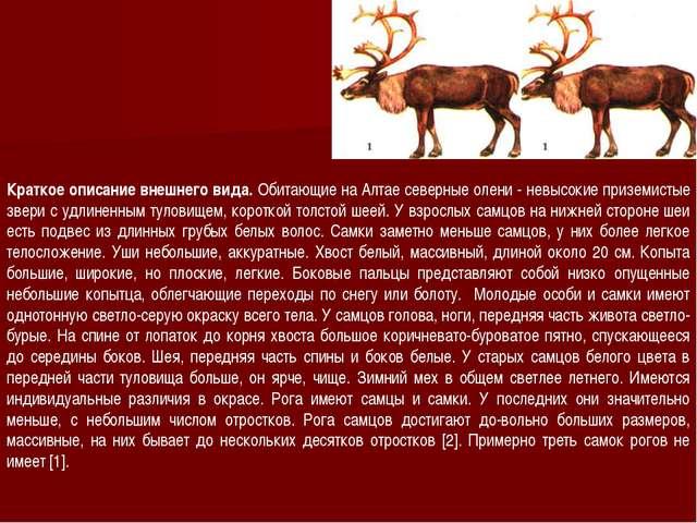 Краткое описание внешнего вида. Обитающие на Алтае северные олени - невысокие...