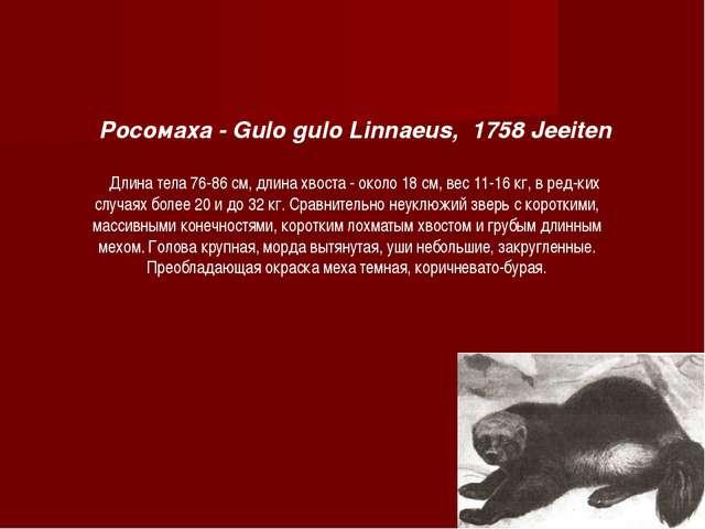 Росомаха - Gulo gulo Linnaeus, 1758 Jeeiten Длина тела 76-86 см, длина хвоста...