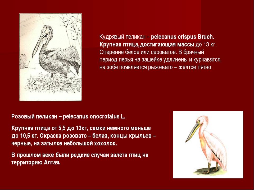 Розовый пеликан – pelecanus onocrotalus L. Крупная птица от 5,5 до 13кг, самк...