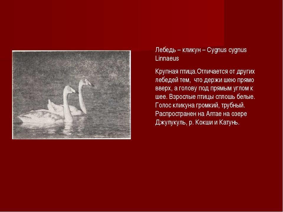 Лебедь – кликун – Cygnus cygnus Linnaeus Крупная птица.Отличается от других л...
