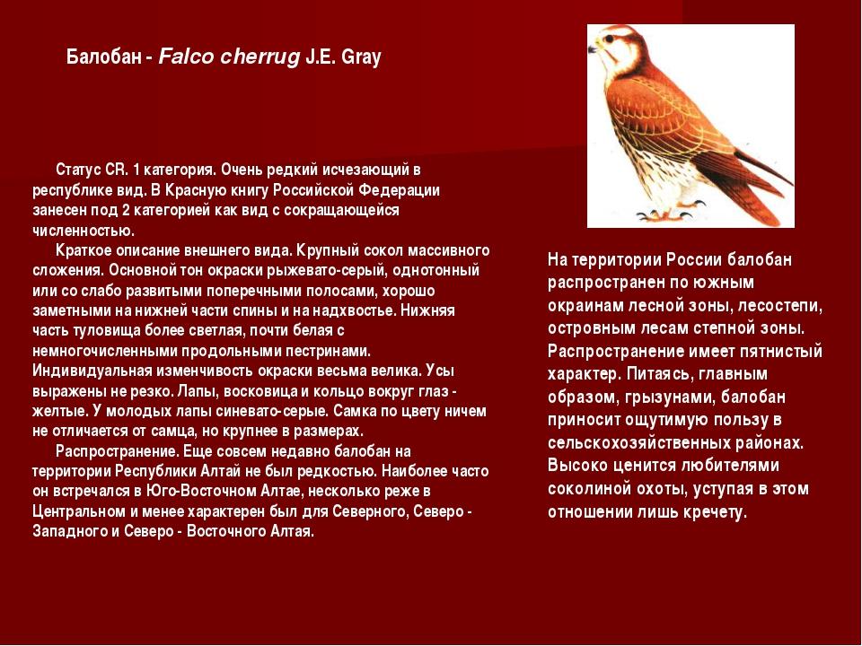 Статус CR. 1 категория. Очень редкий исчезающий в республике вид. В Красную...