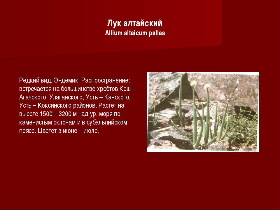 Лук алтайский Allium altaicum pallas Редкий вид. Эндемик. Распространение: вс...