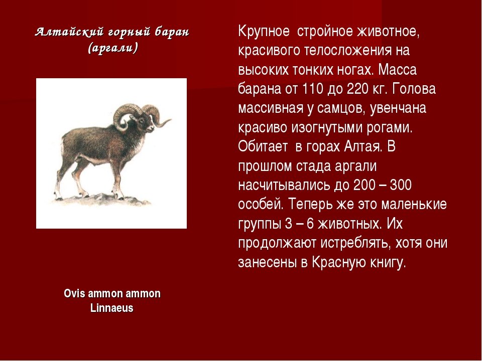 Алтайский горный баран (аргали) Крупное стройное животное, красивого телослож...