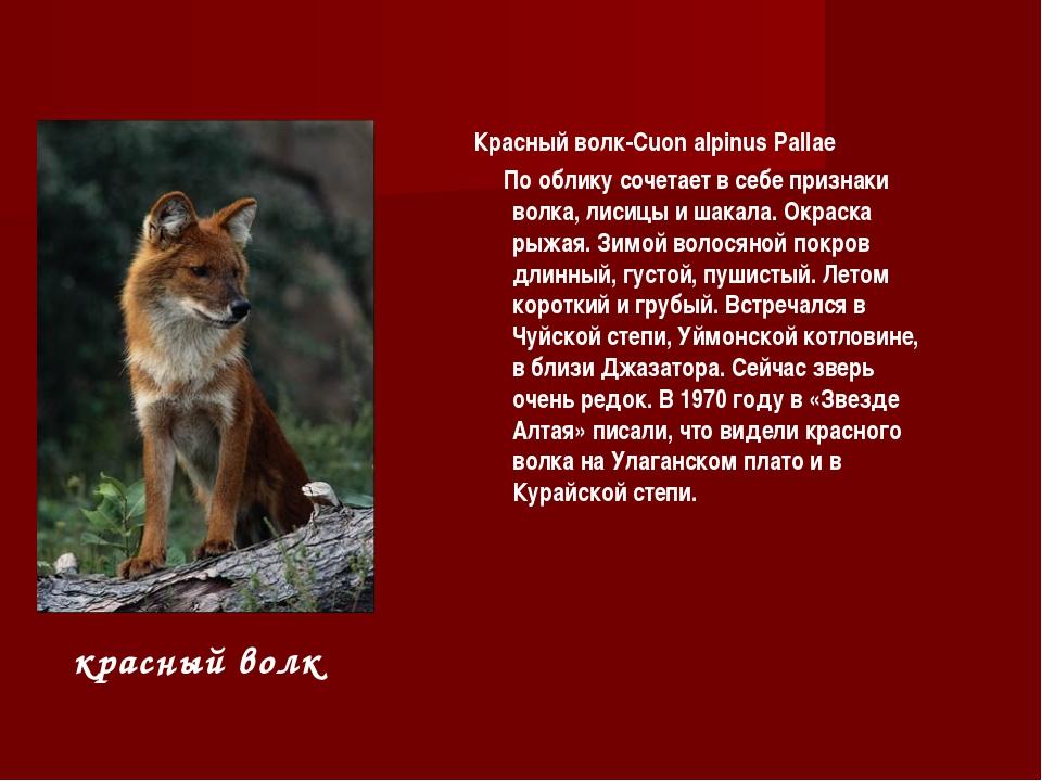 Красный волк-Cuon alpinus Pallae По облику сочетает в себе признаки волка, ли...