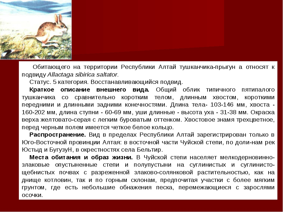 Обитающего на территории Республики Алтай тушканчика-прыгун а относят к подв...