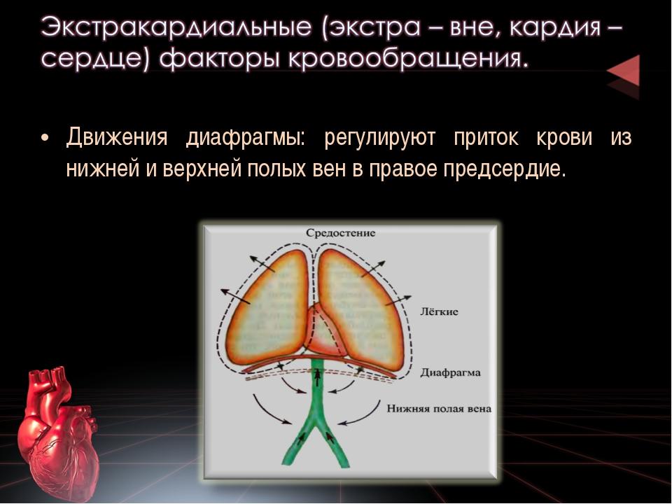 Движения диафрагмы: регулируют приток крови из нижней и верхней полых вен в п...