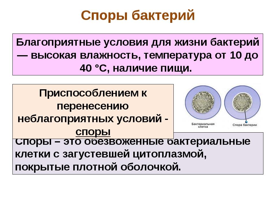 Споры – это обезвоженные бактериальные клетки с загустевшей цитоплазмой, покр...