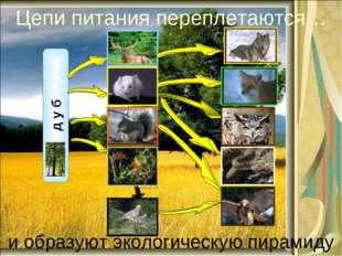 Цепи питания переплетаются… и образуют экологическую пирамиду д у б лось волк