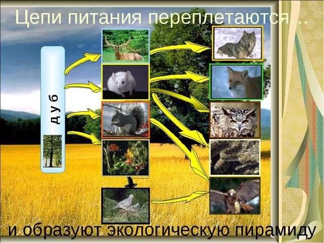 Цепи питания переплетаются… и образуют экологическую пирамиду д у б лось волк...