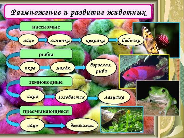 Размножение и развитие животных насекомые рыбы яйцо личинка куколка бабочка и...