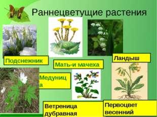 Раннецветущие растения Мать-и мачеха Подснежник Медуница Ландыш Ветреница ду