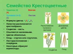 Семейство Крестоцветные Чашечка (4) Венчик (4) Тычинки (4+2) Пестик (1) Форму