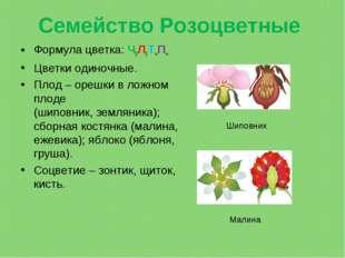 Семейство Розоцветные Формула цветка: Ч5Л5Т∞П∞ Цветки одиночные. Плод– орешк