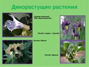 Дикорастущие растения Дурман вонючий, или обыкновенный Белена чёрная Паслён с
