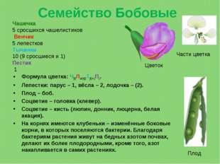 Семейство Бобовые Формула цветка: Ч(5)Л1+2+(2)Т(9) + 1П1. Лепестки: парус– 1