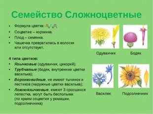 Семейство Сложноцветные Формула цветка: Л(5)Т(5)П1 Соцветие– корзинка. Плод