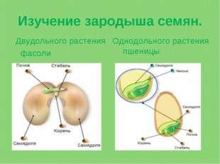 Изучение зародыша семян. Двудольного растения фасоли Однодольного растения пш