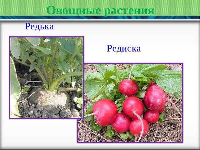 Овощные растения Редька Редиска