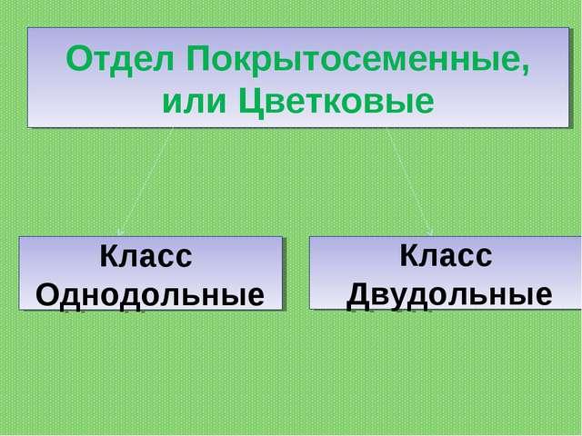 Отдел Покрытосеменные, или Цветковые Класс Однодольные Класс Двудольные