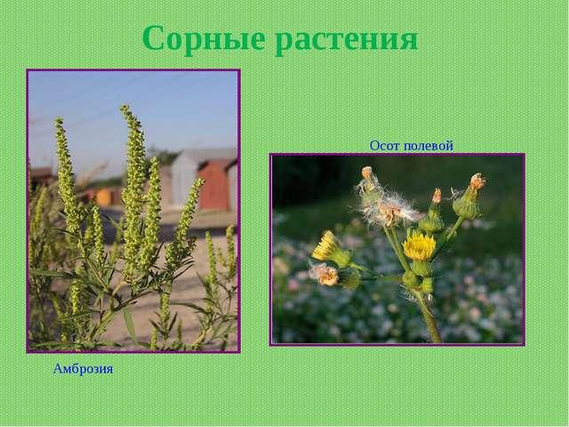 Сорные растения Осот полевой Амброзия