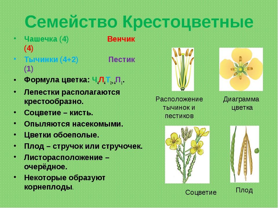 Семейство Крестоцветные Чашечка (4) Венчик (4) Тычинки (4+2) Пестик (1) Форму...