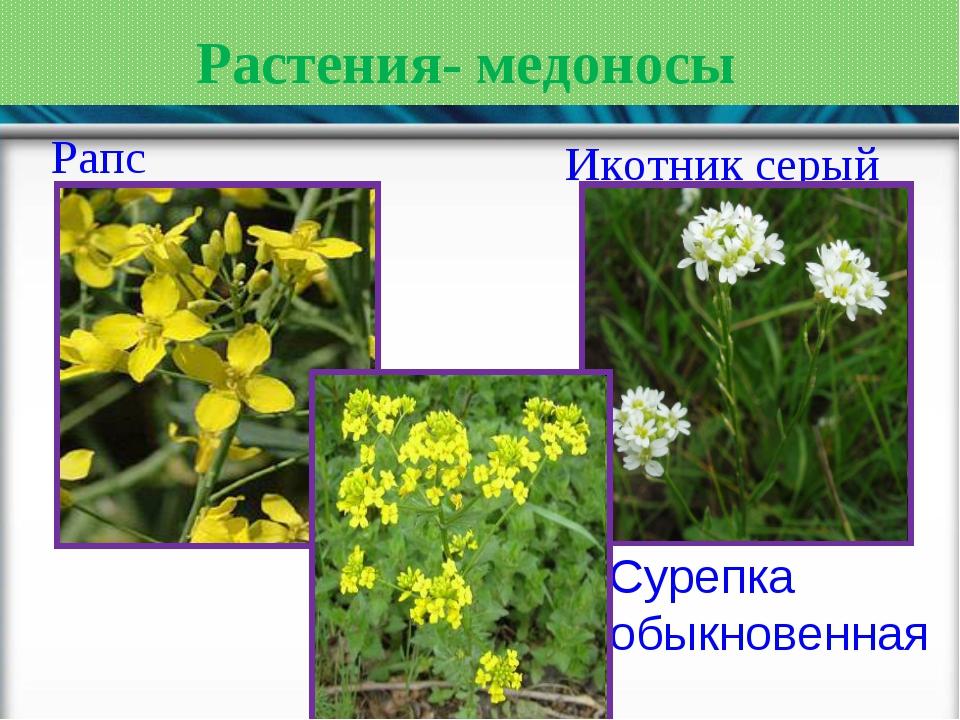Растения- медоносы Рапс Икотник серый Сурепка обыкновенная