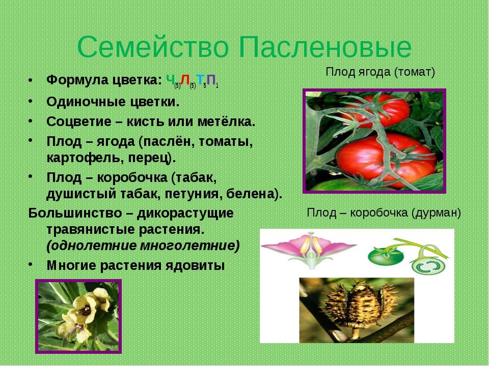 Семейство Пасленовые Формула цветка: Ч(5)Л(5)Т5П1 Одиночные цветки. Соцветие...