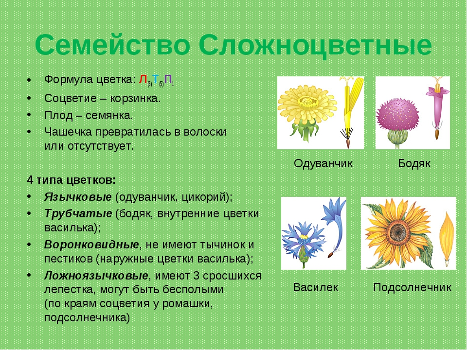 Семейство Сложноцветные Формула цветка: Л(5)Т(5)П1 Соцветие– корзинка. Плод...