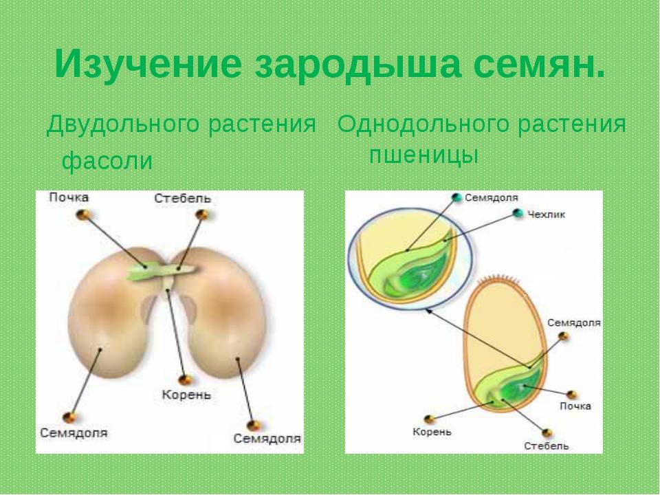 Изучение зародыша семян. Двудольного растения фасоли Однодольного растения пш...