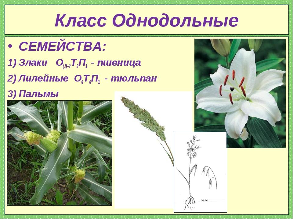Класс Однодольные СЕМЕЙСТВА: Злаки О(2)+2Т3П1 - пшеница Лилейные О6Т6П1 - тюл...