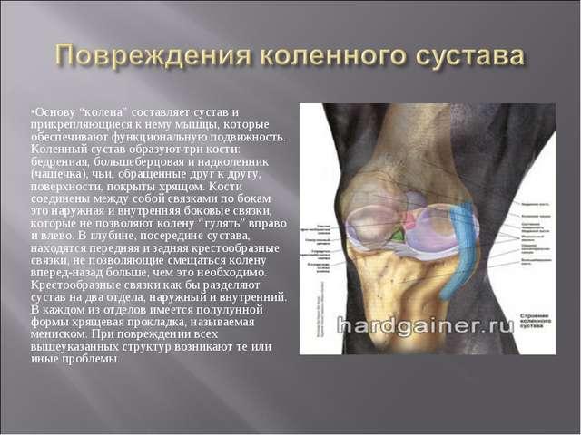 """Основу """"колена"""" составляет сустав и прикрепляющиеся к нему мышцы, которые обе..."""