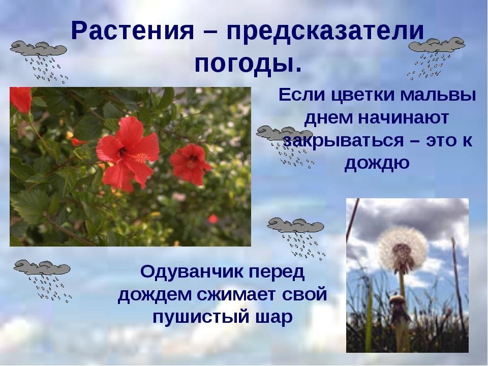 Растения – предсказатели погоды. Одуванчик перед дождем сжимает свой пушистый...
