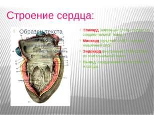 Строение сердца: Эпикард (наружный слой)- состоит из соединительной ткани.