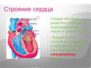 Строение сердца Сердце человека разделено сплошной перегородкой на левую и п