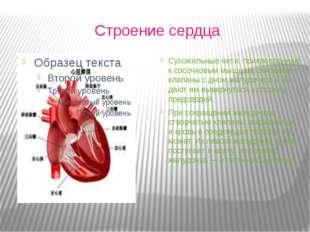 Строение сердца Сухожильные нити, прикрепленные к сосочковым мышцам, связыва