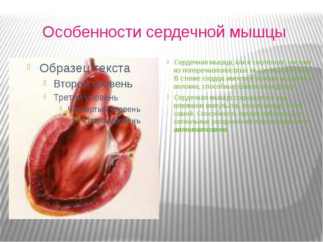 Особенности сердечной мышцы Сердечная мышца, как и скелетная, состоит из поп...